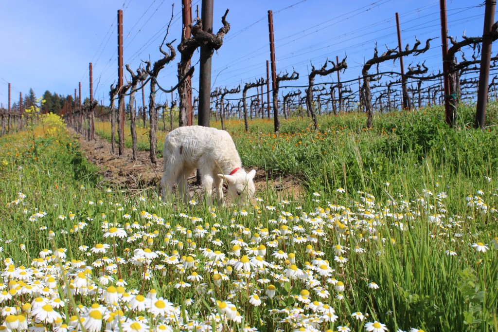 Daisies, Blue Skies, Mustard Flowers and Baby lambs.. Must be almost spring in Sonoma County! (image courtesy of California Wine Country
