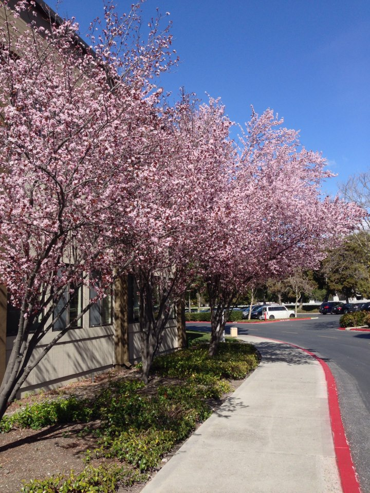 "Cherry Blossom trees just outside my office.  As I was taking this pic, it was ""snowing"" cherry blossoms - very cool!"