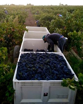Harvest in Century Block Vineyard-Cmprssd