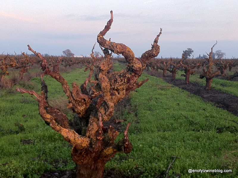 Lodi-Old-Vines