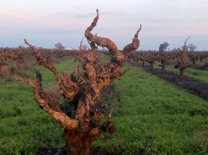 Lodi, CA - Old Vines - Photography by Martin Redmond