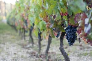 fall_vineyards__large